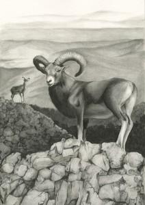 06a-Mouflon